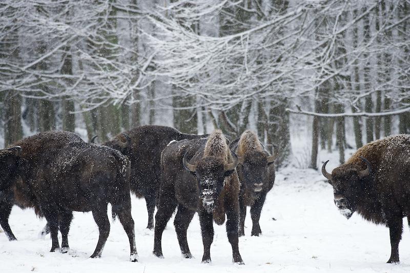 Pologne, le retour des bisons