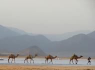Caravane de dromadaires dans le désert de Djibouti
