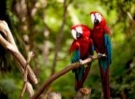 Costa Rica perroquets