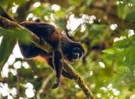 Costa Rica singe