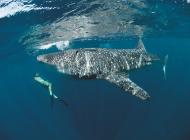 Djibouti plongée requin-baleine