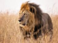 Lion d'Afrique @AndBeyond