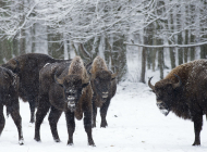 Pologne bisons polonais