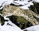 Protection du léopard des neiges dans l'Himalaya indien