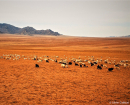 Mongolie moutons