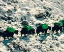 Caravane de yaks dans la descente vers Syangbuche avec 1,2 tonnes de déchets © Everest Green 2017