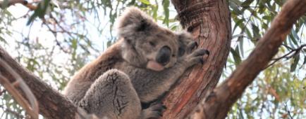 Australie Koala eucalyptus