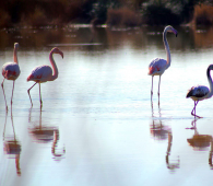 agadir_flamants_roses