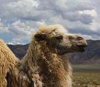 Kirghizistan lama