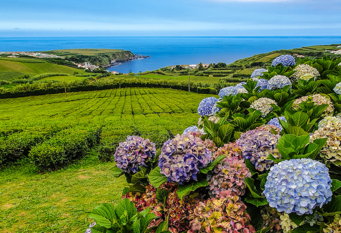 Açores plantation thé
