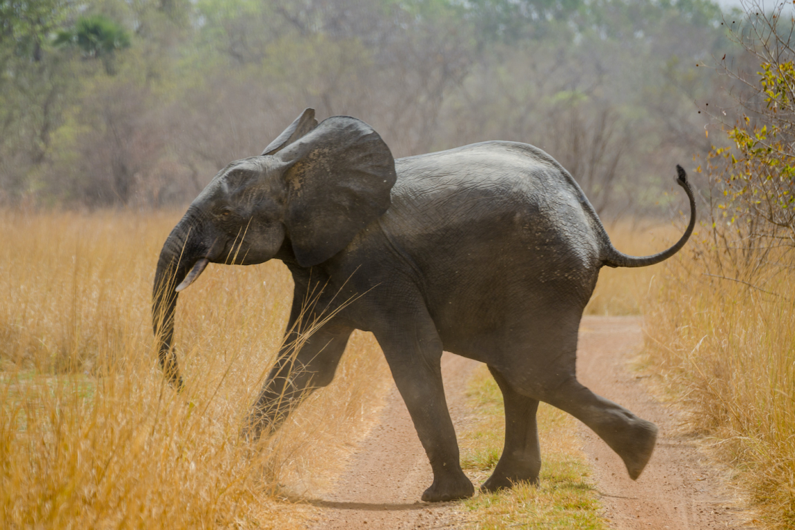 Bénin parc national de Pendjari éléphant