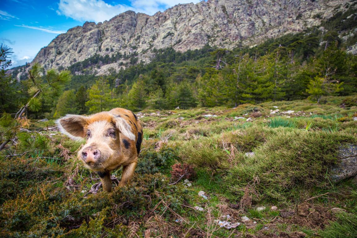 Cochon sauvage, Corse