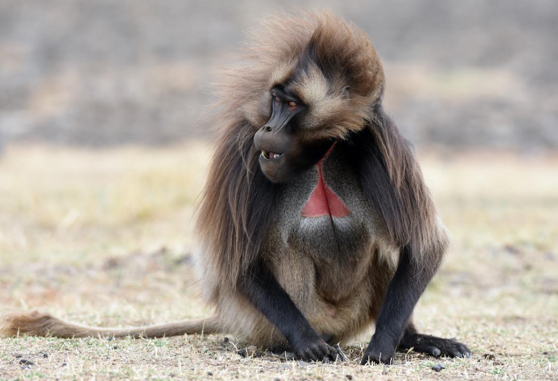 Éthiopie babouin
