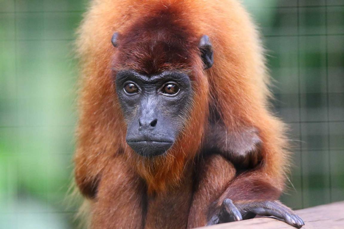 Guyane singe