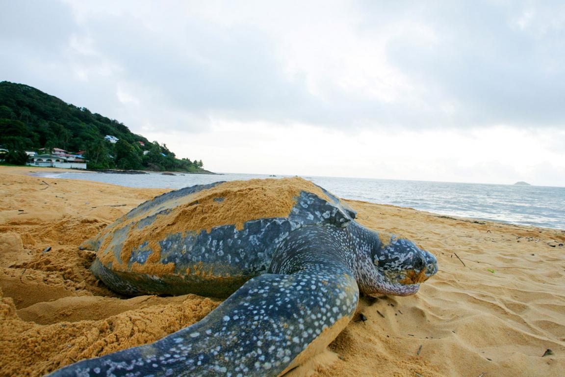 Guyane tortue