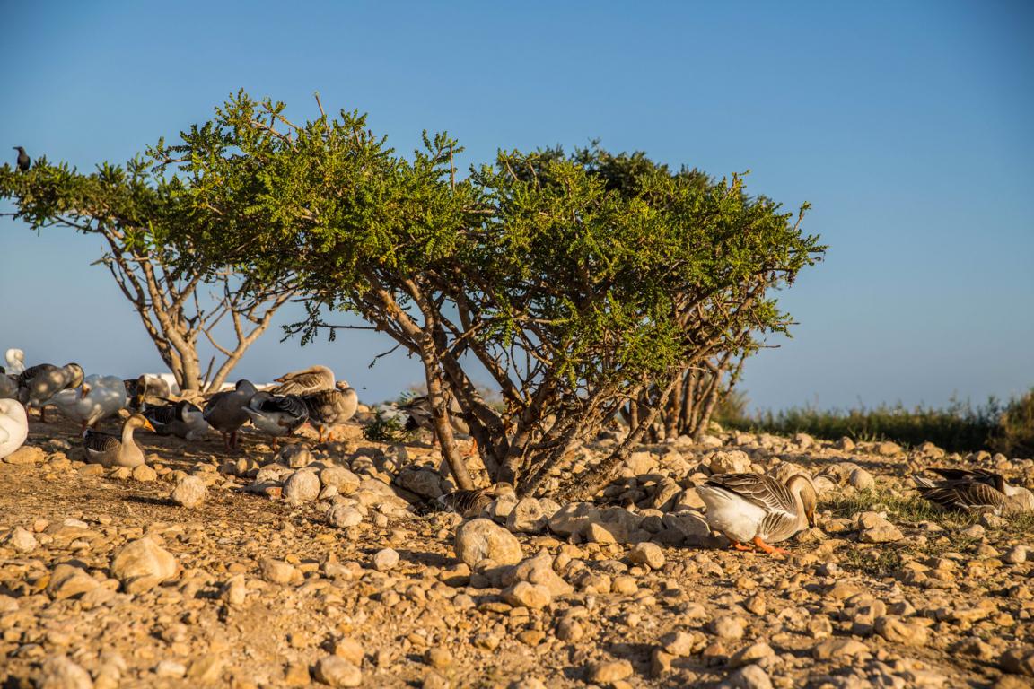 oman_arbre_encens