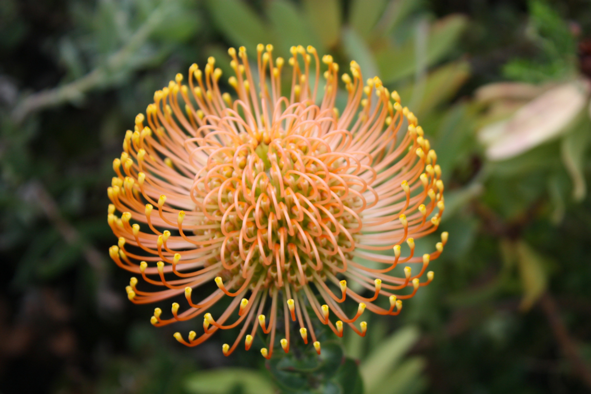 Une protée au Jardin de Kirstenbosch